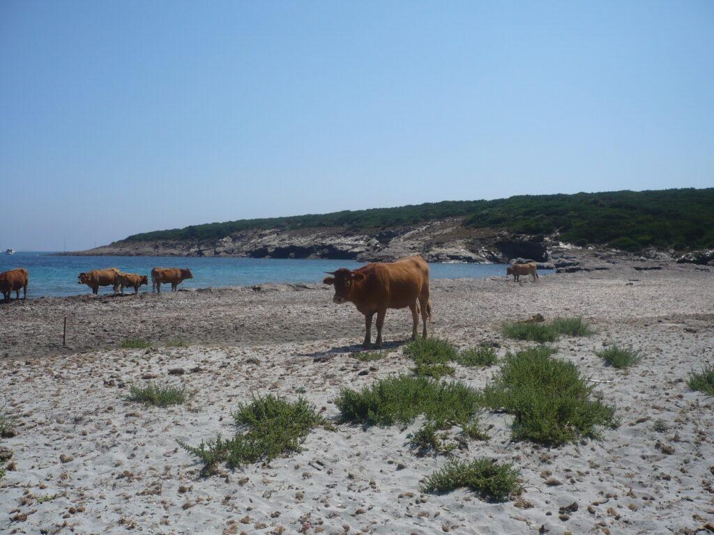 animali spiaggia corsica